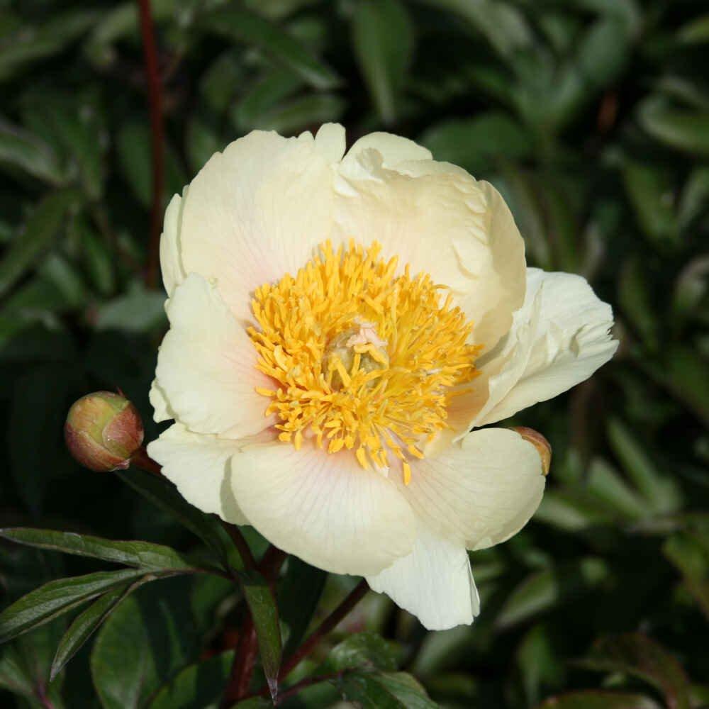 Silkepæon - Paeonia lactiflora 'Claire de Lune'