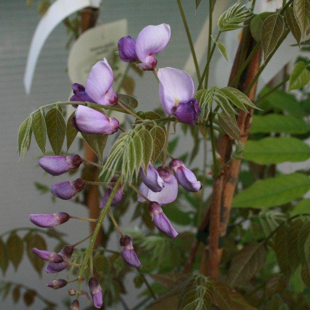 Blåregn - Wisteria sinensis 'Ametyst'