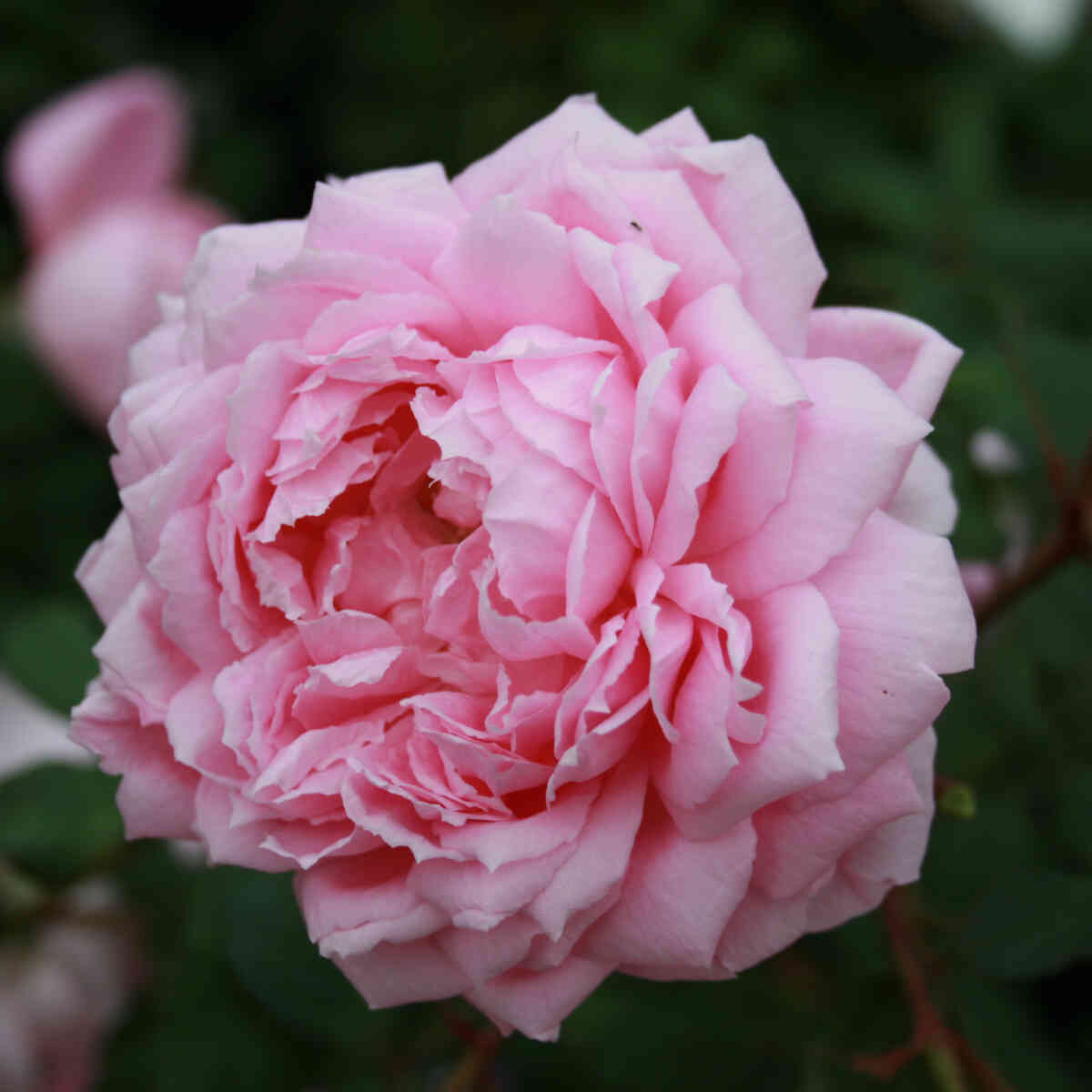 Smuk lyserød blomst i Engelsk rose Alan Titchmarsh
