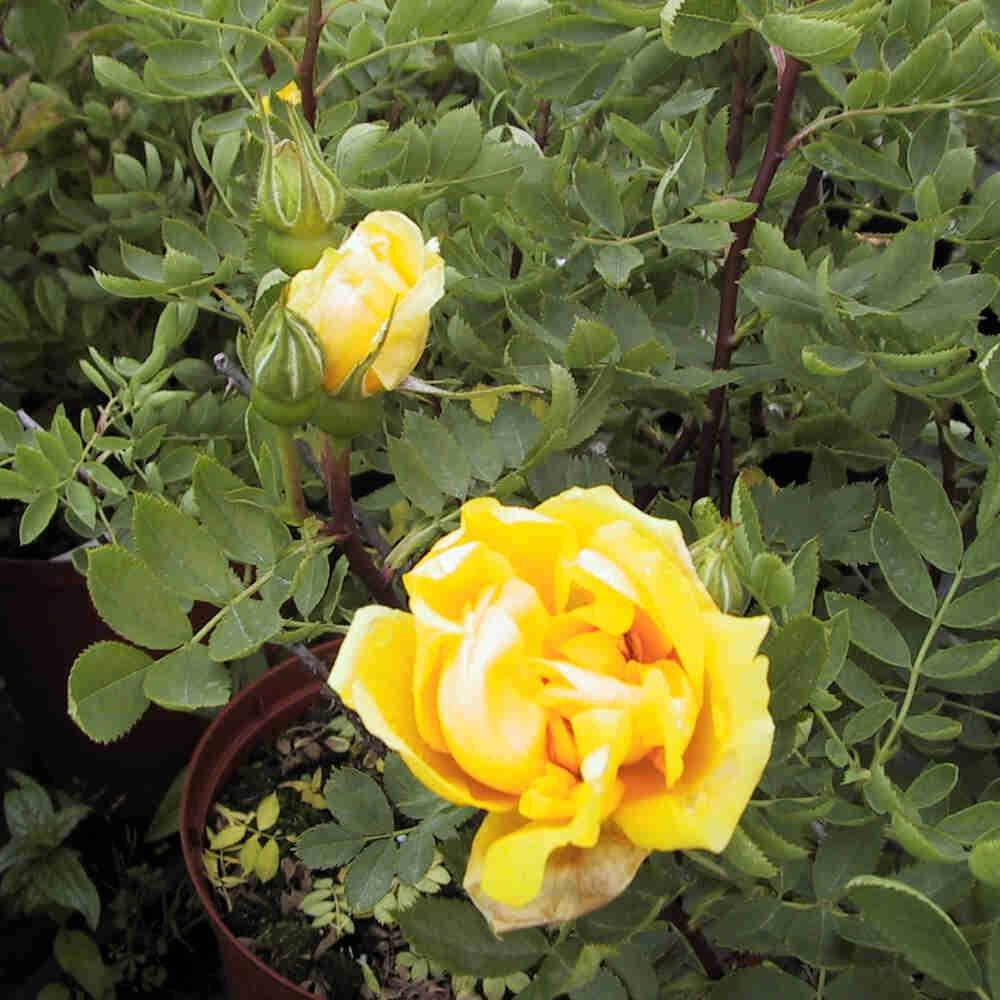 Historisk rose - Rosa foetida 'Persian Yellow'