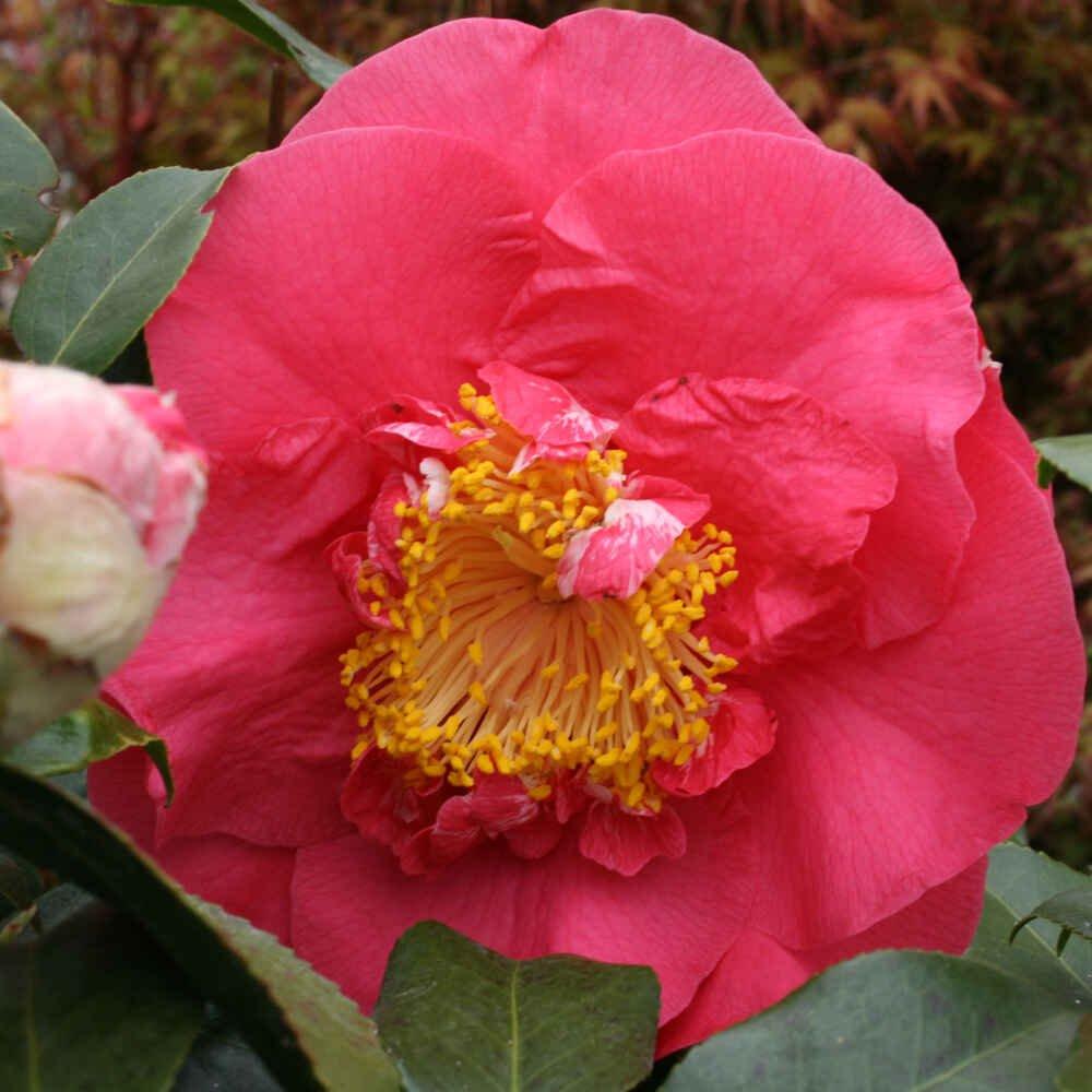 Kamelia - Camellia japonica 'R.L. Wheeler'