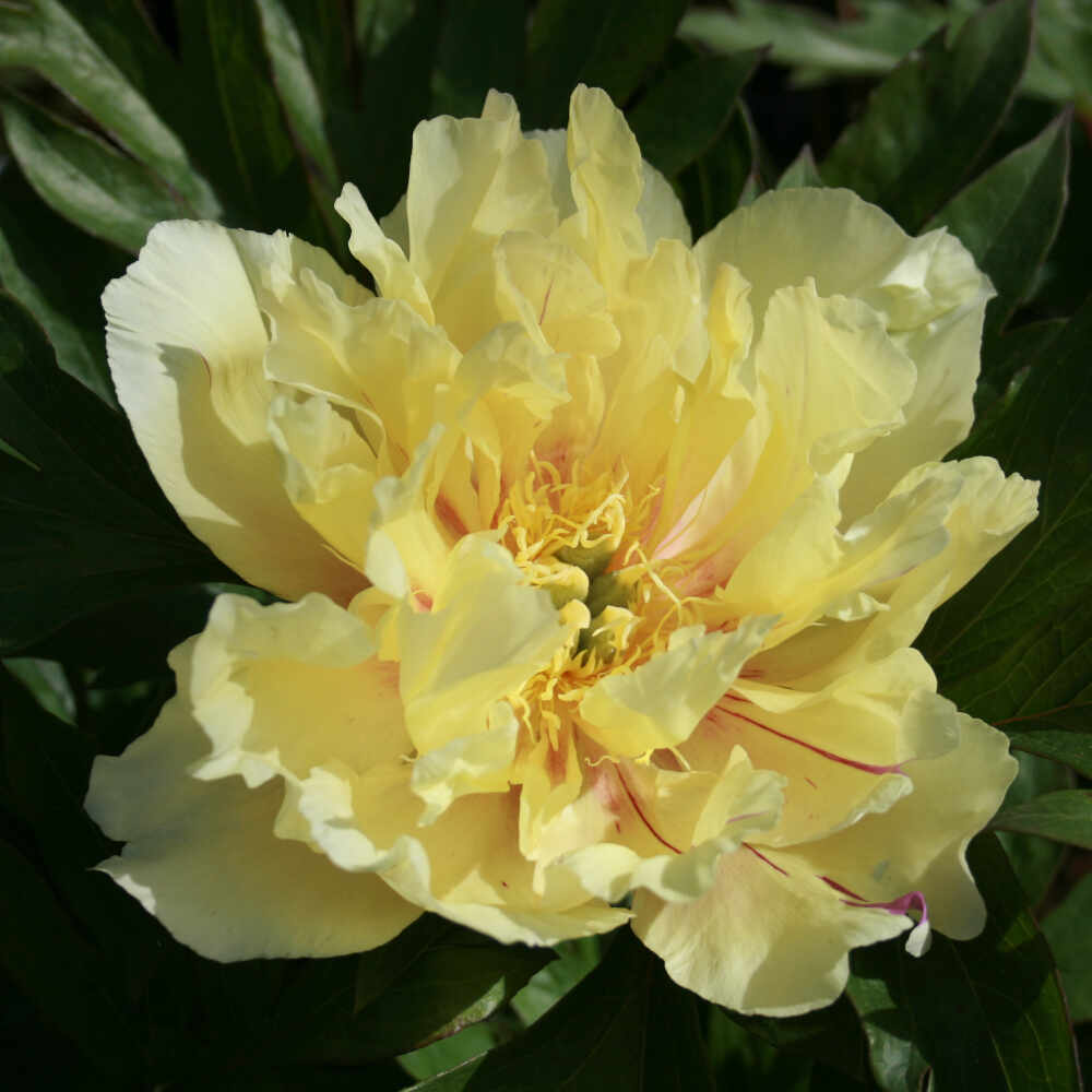 Pæon Itoh-hybrid - Paeonia 'Lemon Dream'