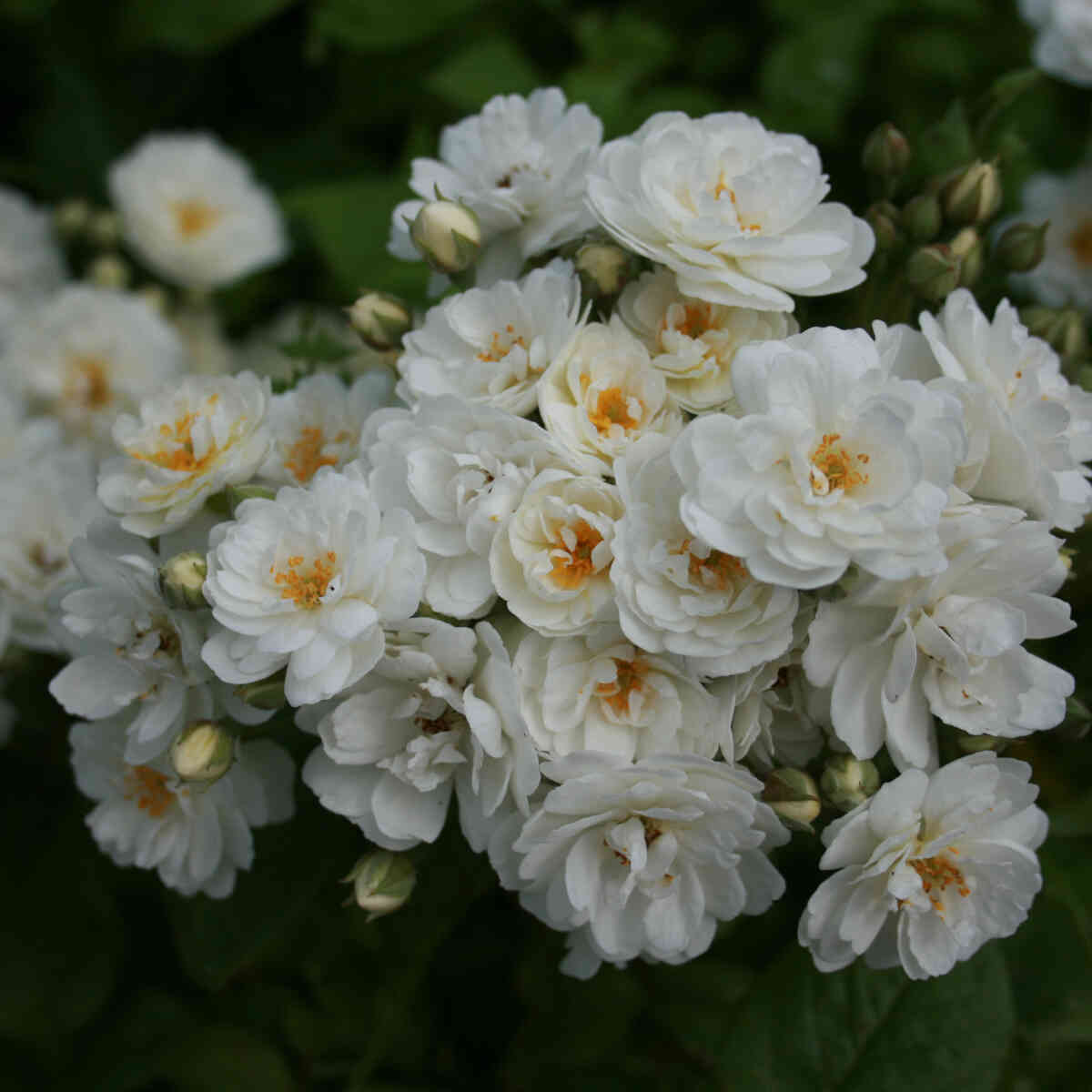 Rose moschata 'Waterloo'