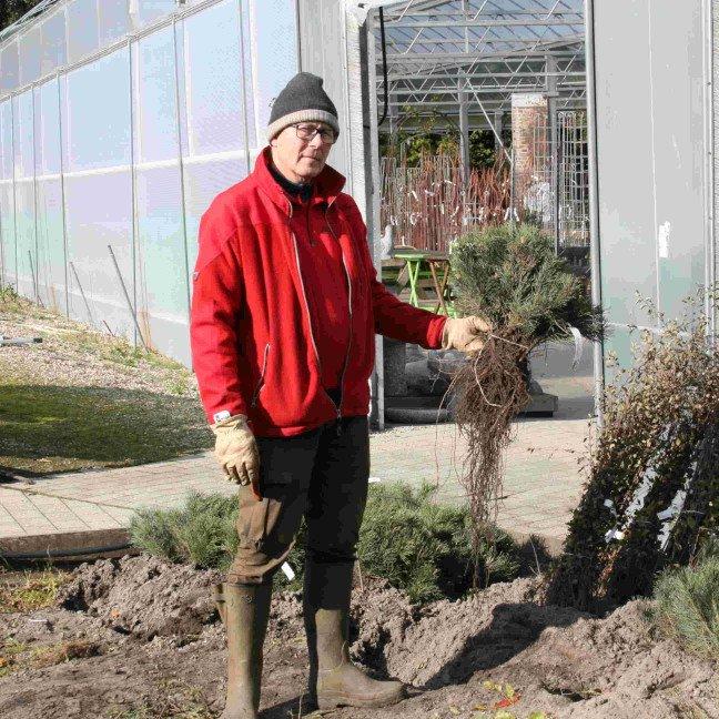 Bjergfyr - Pinus mugo - hækplante