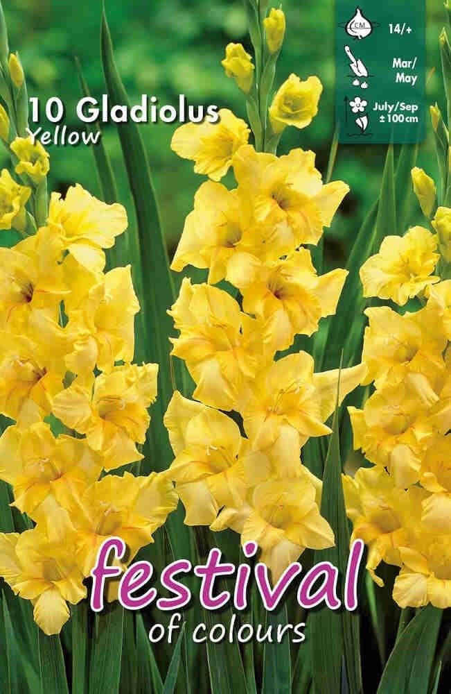 Gladiolus Yellow, 7 stk
