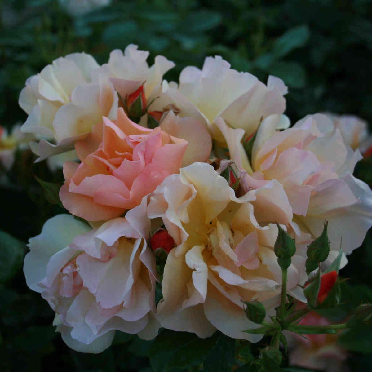 Rose 'Prins Henrik'