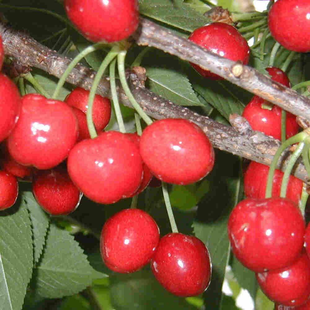 Kirsebærtræ - Prunus avium 'Stella'