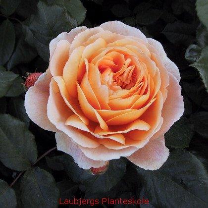 Engelsk rose Crown princess Margaretha