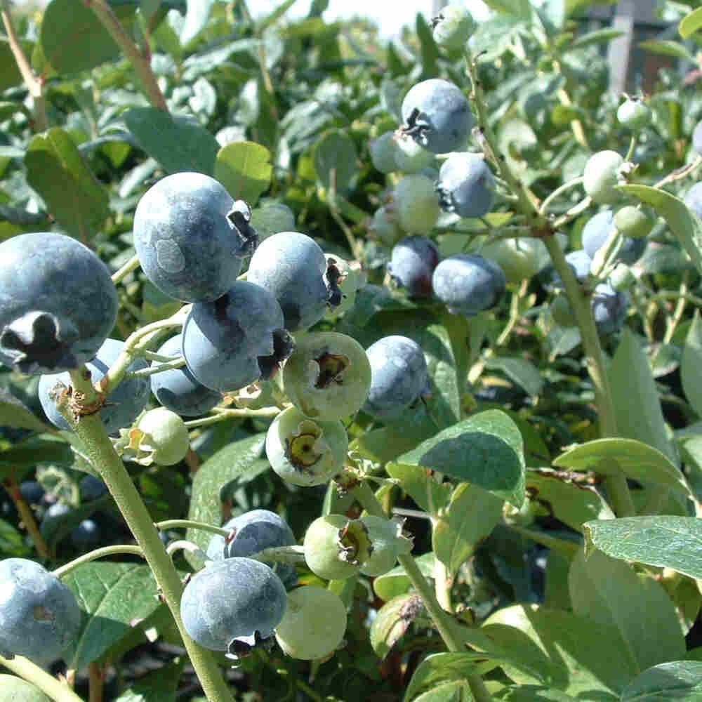 Blåbær - Vaccinium corymbosum 'Patriot'