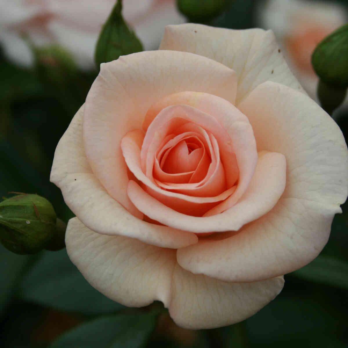 Rosa 'Elins rose'