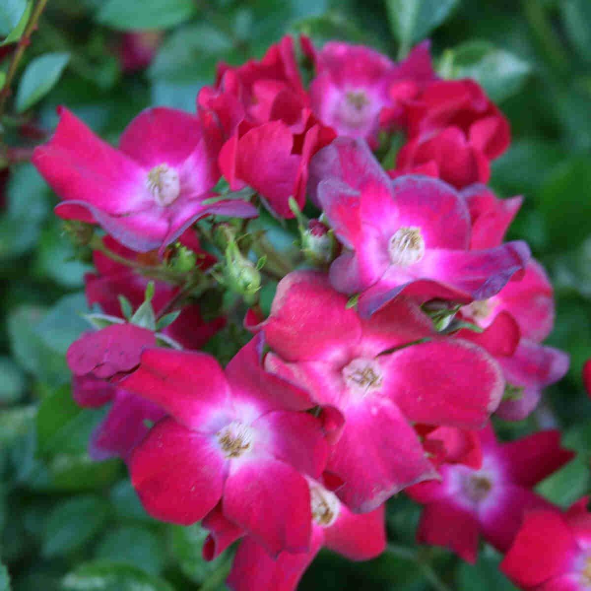 Rose 'Myka'