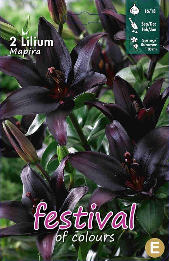 Lilje - Lilium AsMapira (x2) 16/18