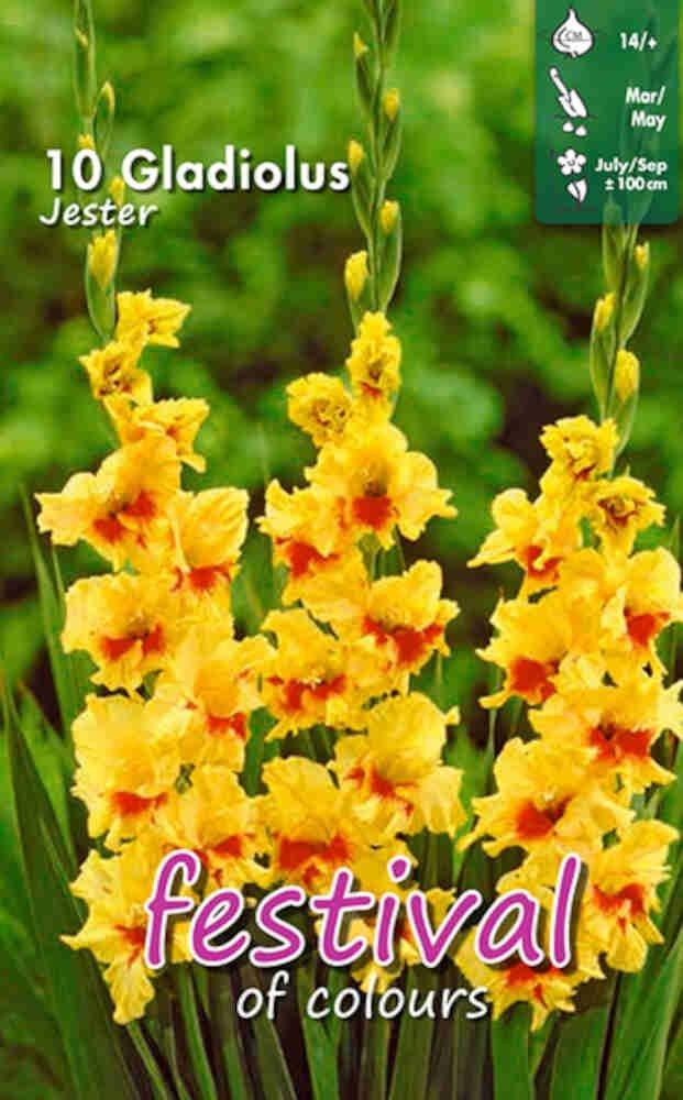 Gladiolus Jester large flowering, 7 stk.
