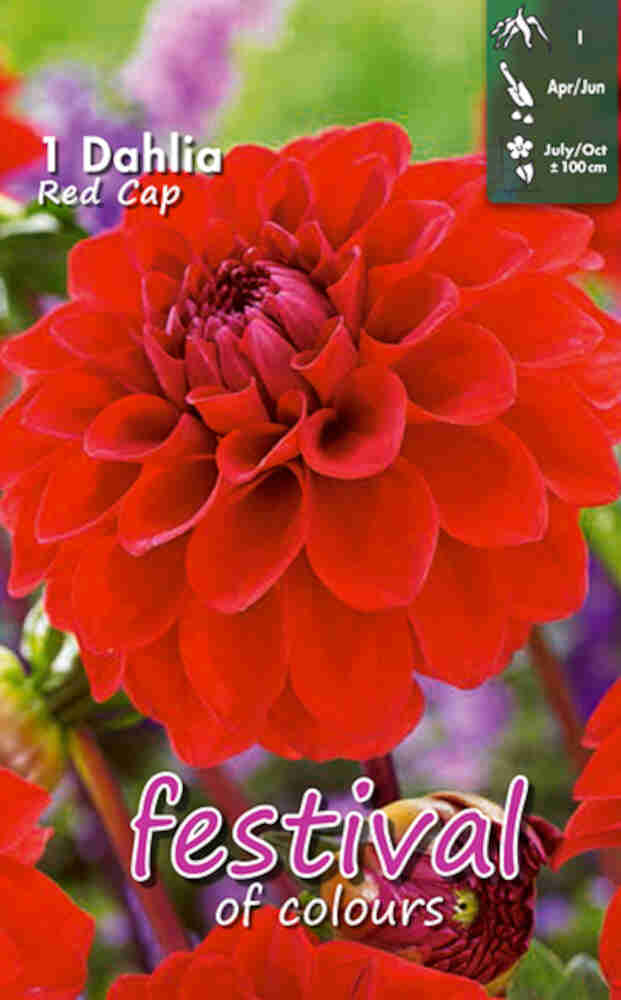 Dahlia Red Cap Ball