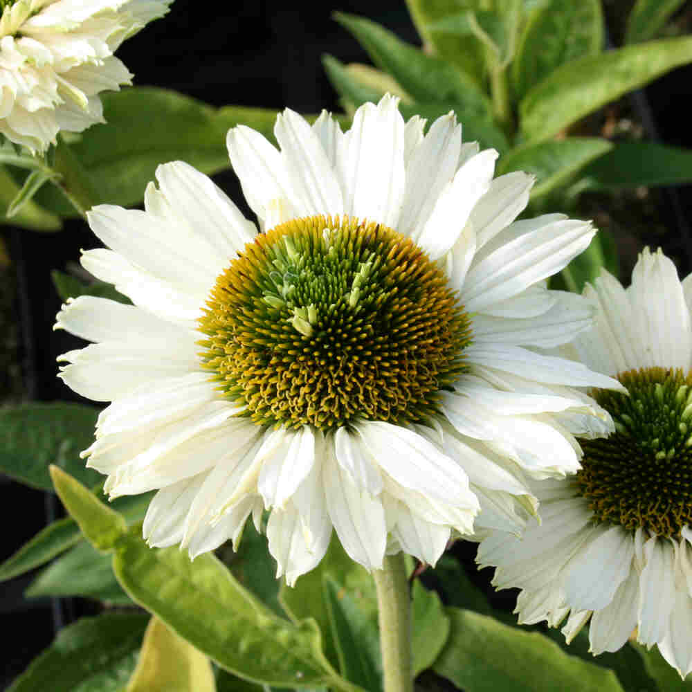 Solhat - Echinacea SunSeekers 'White'®