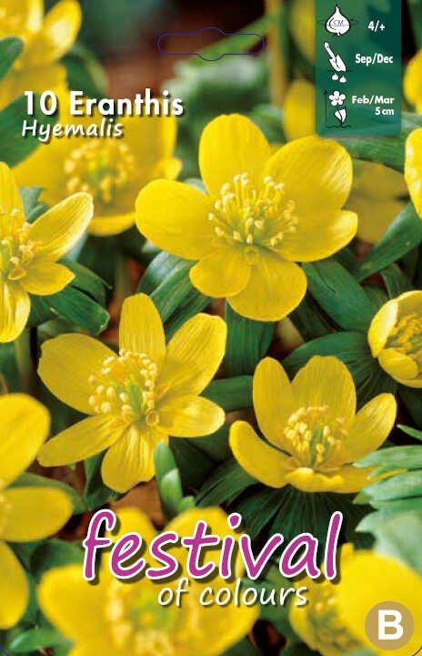 Erantis - Eranthis hyemalis 4/+