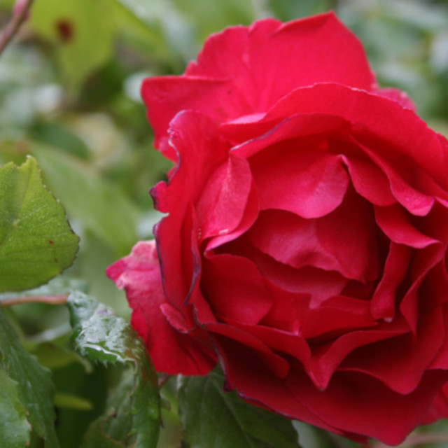 Rød blomst i Slyngrose Paul Scarlet climber