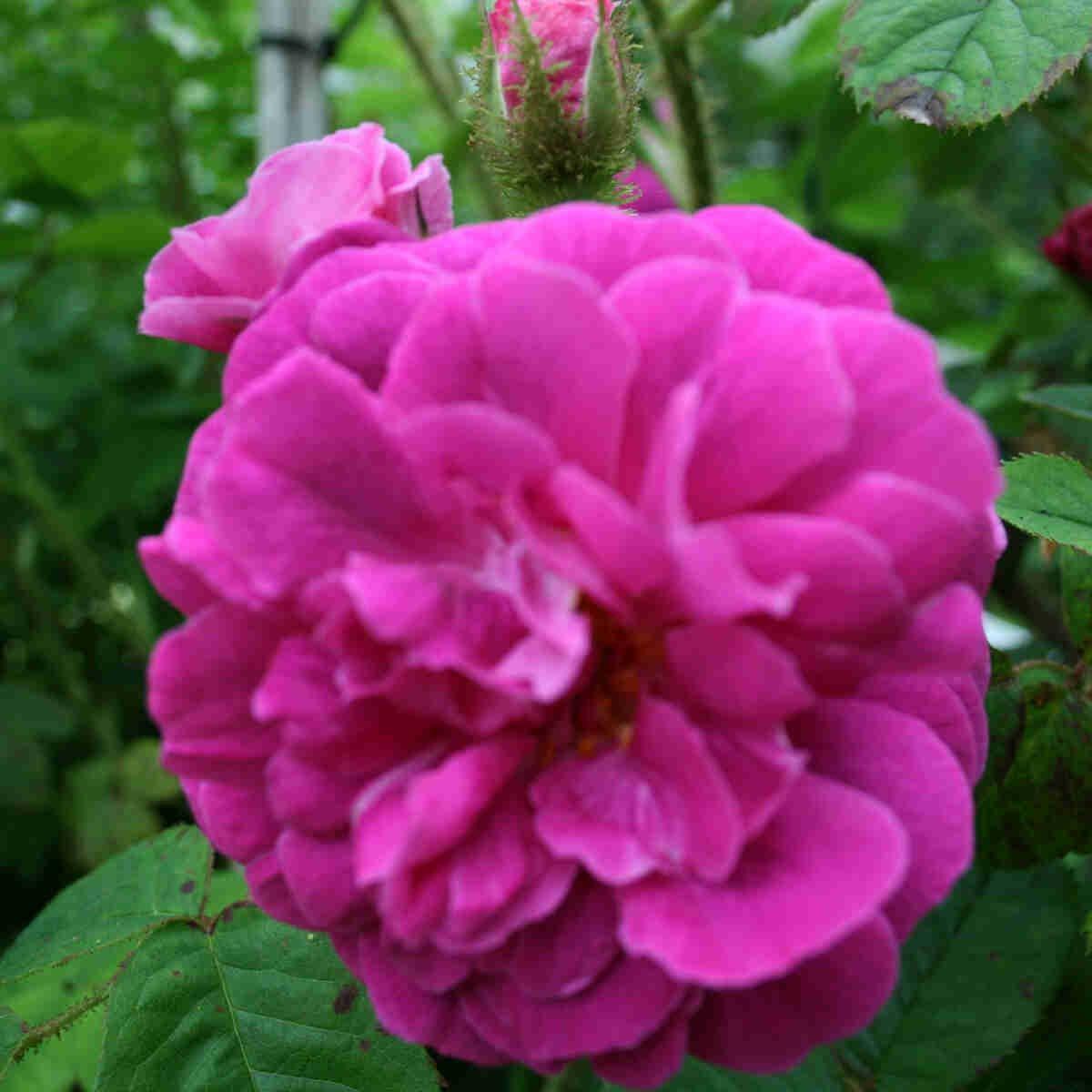 Mosrose - Rose 'Henri Martin'