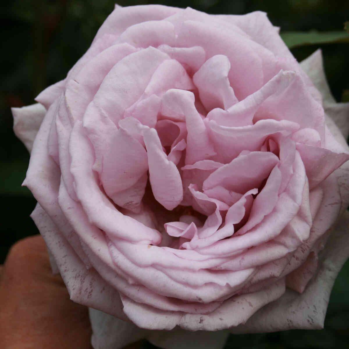 Rose 'Bering Renaissance'