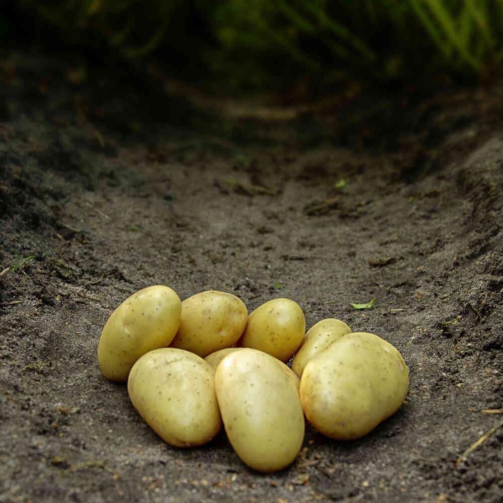 Darling læggekartofler, den nye asparges kartoffel