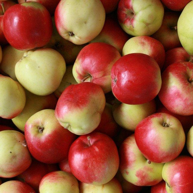 Æbletræ - Malus domestica `Sunrise´
