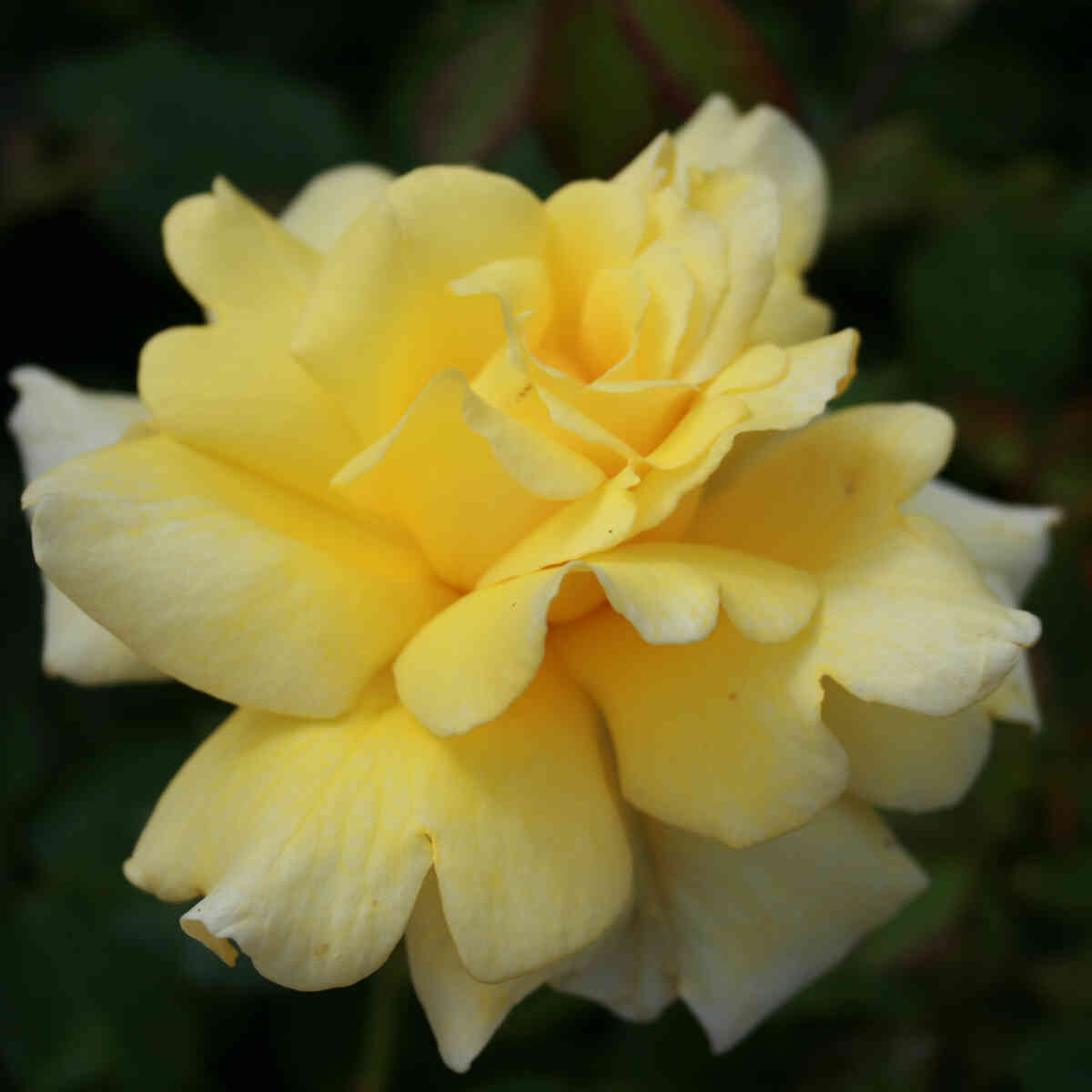 Rose 'Garden Princess'
