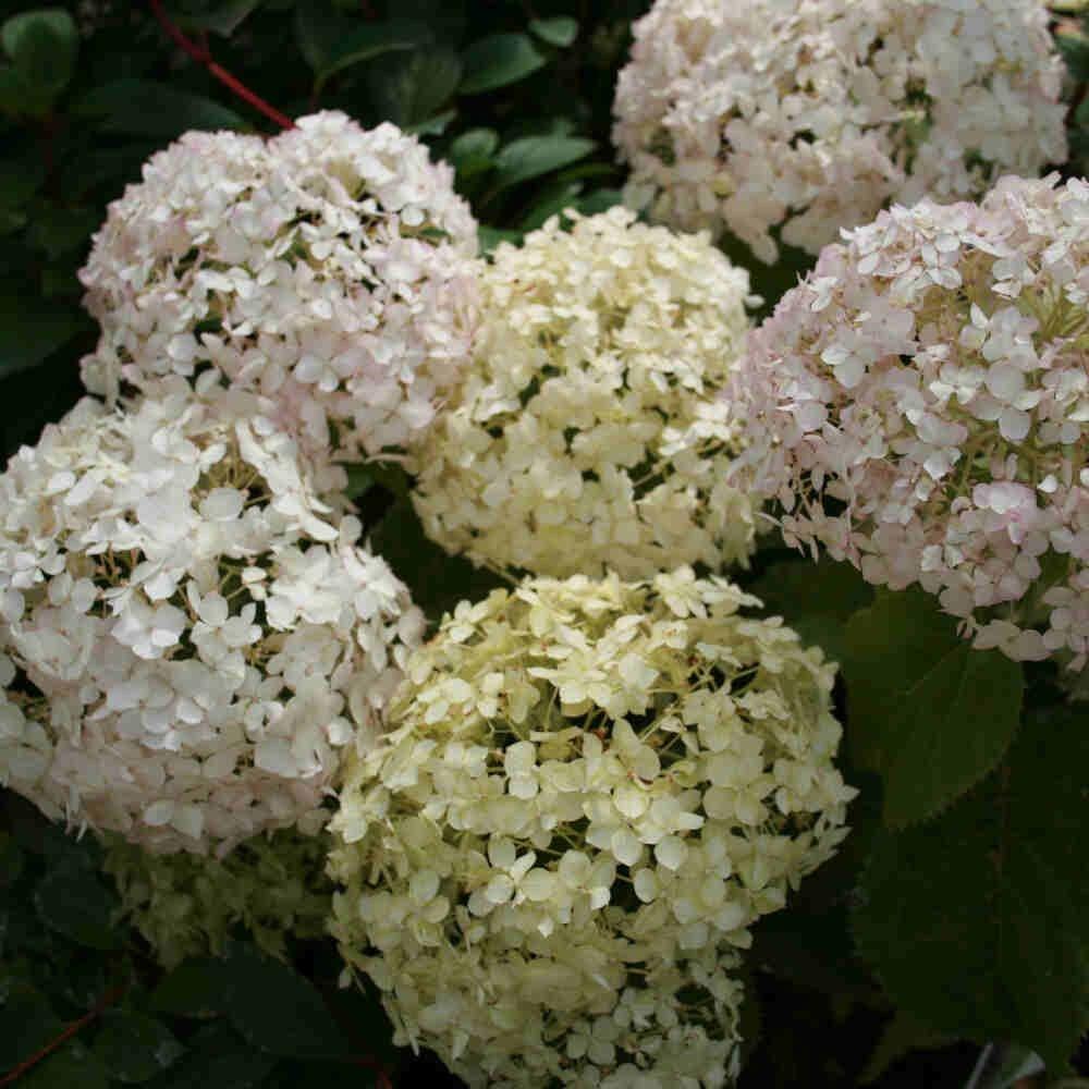 Syrenhortensia - Hydrangea paniculata 'Blanchetta'