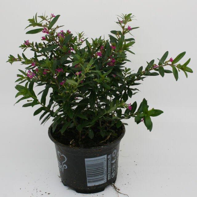 Japansk Myrte - Cuphea hyssopifolia Pink