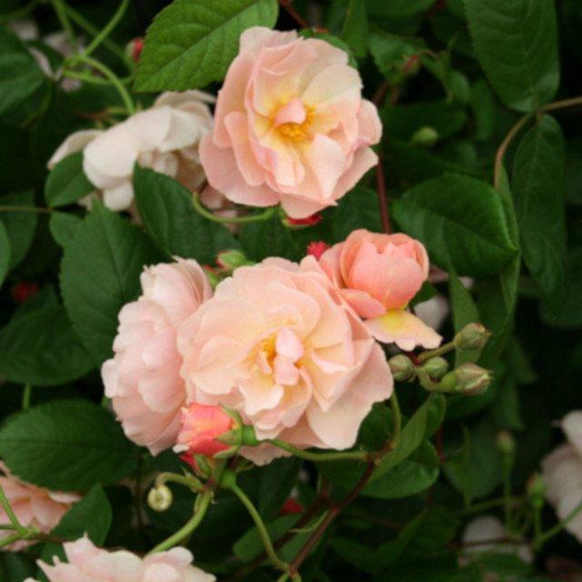 Cornelia moschata rose med blomster i buket