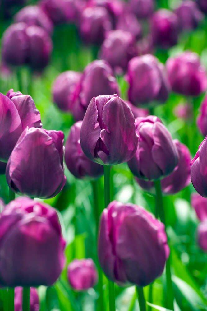 Tulipanløg - Tulipa  'Negrita' 12+, 100stk pakke