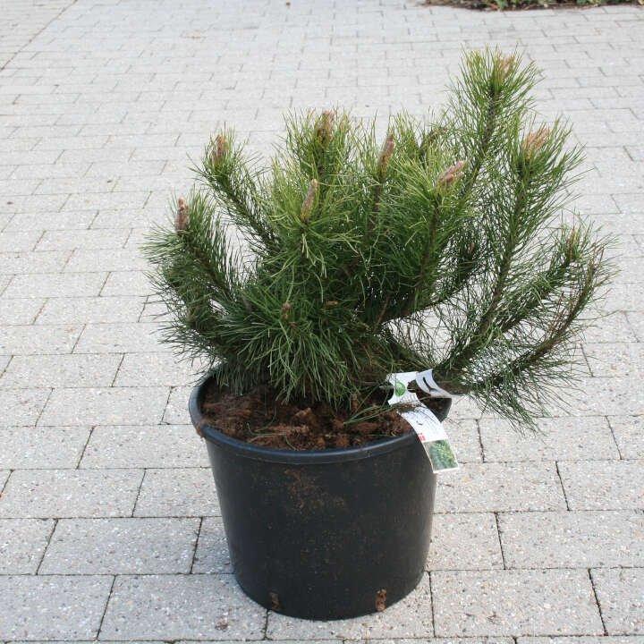 Bjergfyr - Pinus mugo - 40cm potte