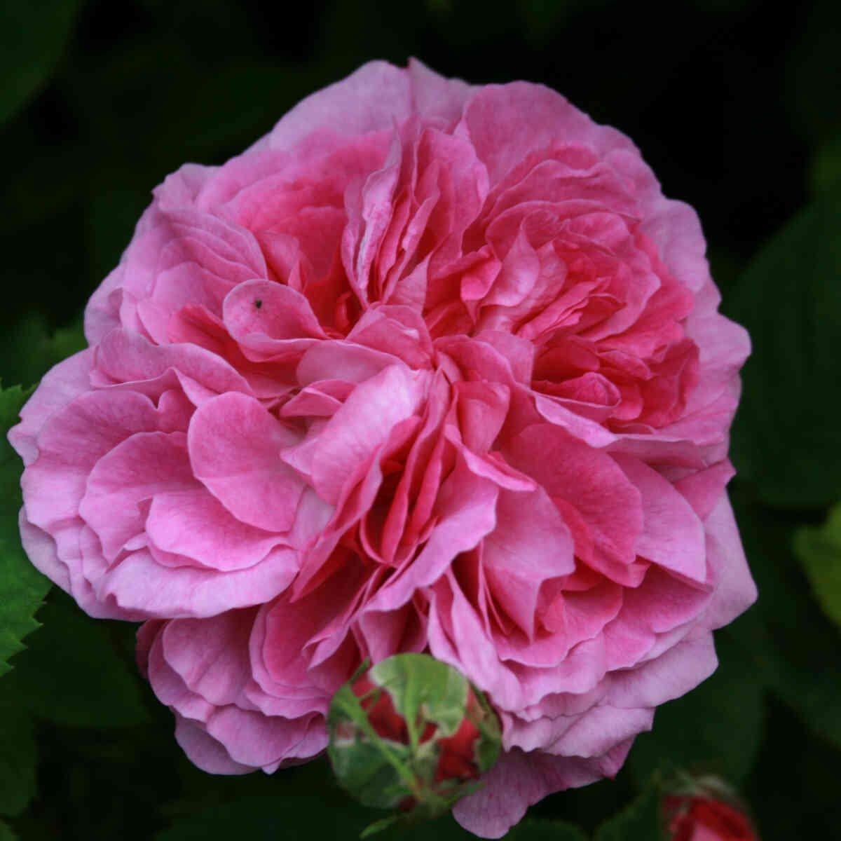 Historisk rose 'Reine des Violettes'