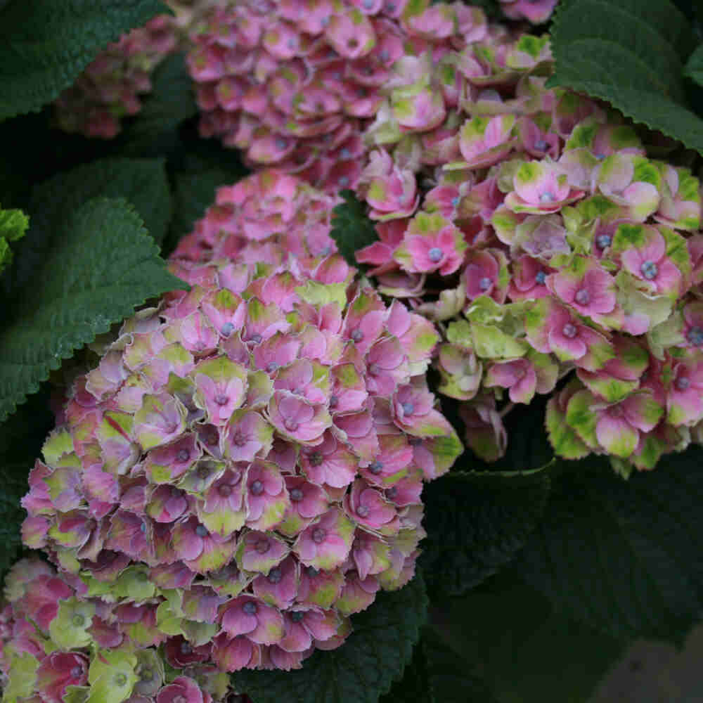 Hortensie - Hydrangea Magical Four Seasons 'Ametyst Blue'