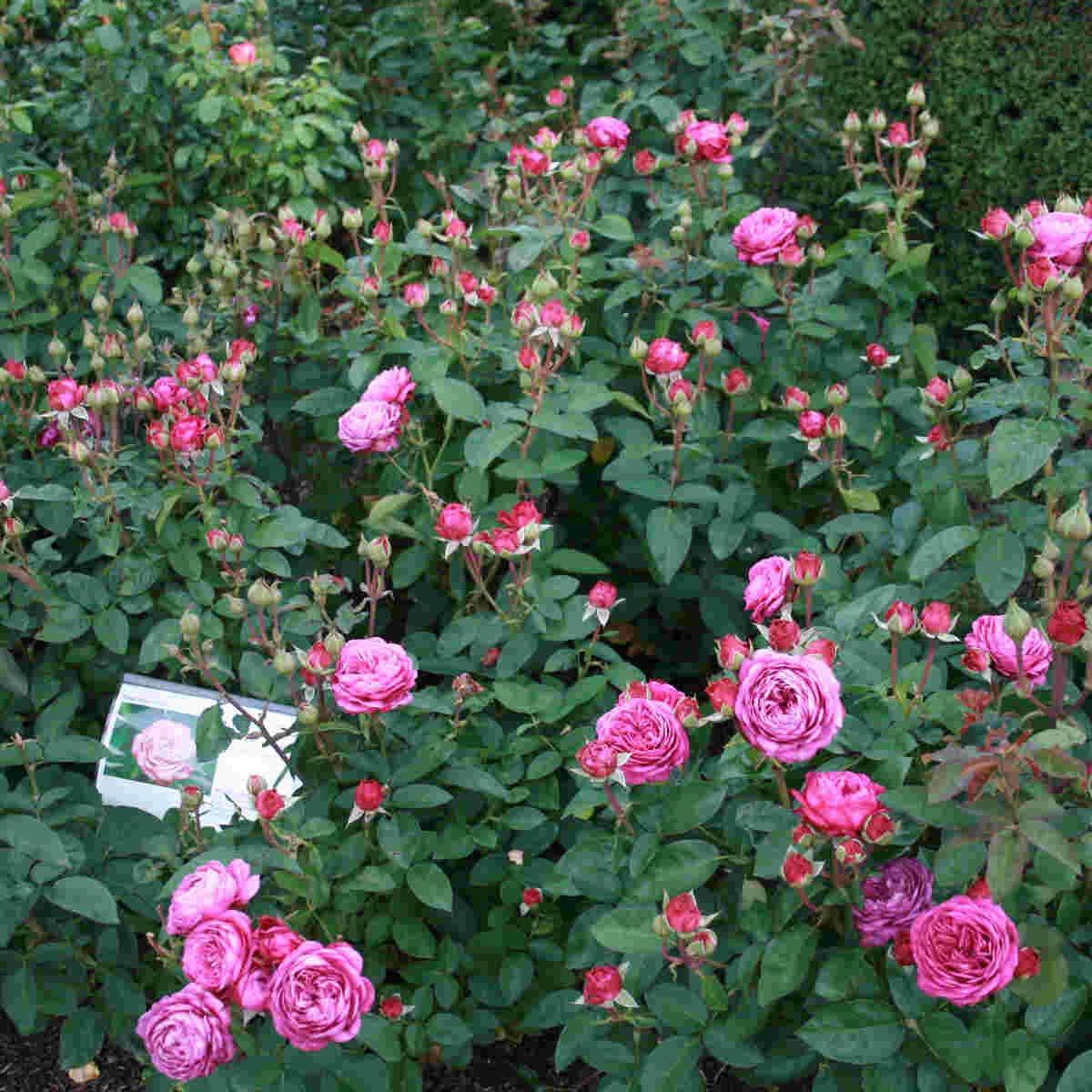 Rose 'Heidi Klum Rose'