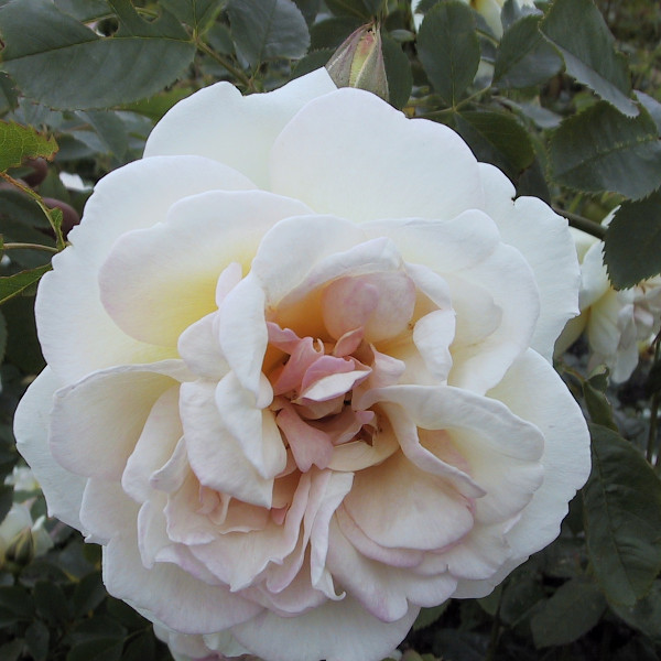 Klitrose pimpinellifolia 'Frühlingsduft'
