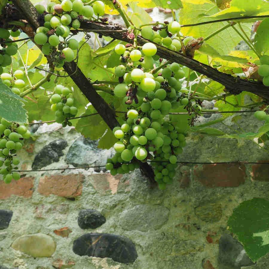 Vindrueplante - Vitis vinifera 'Millenium'