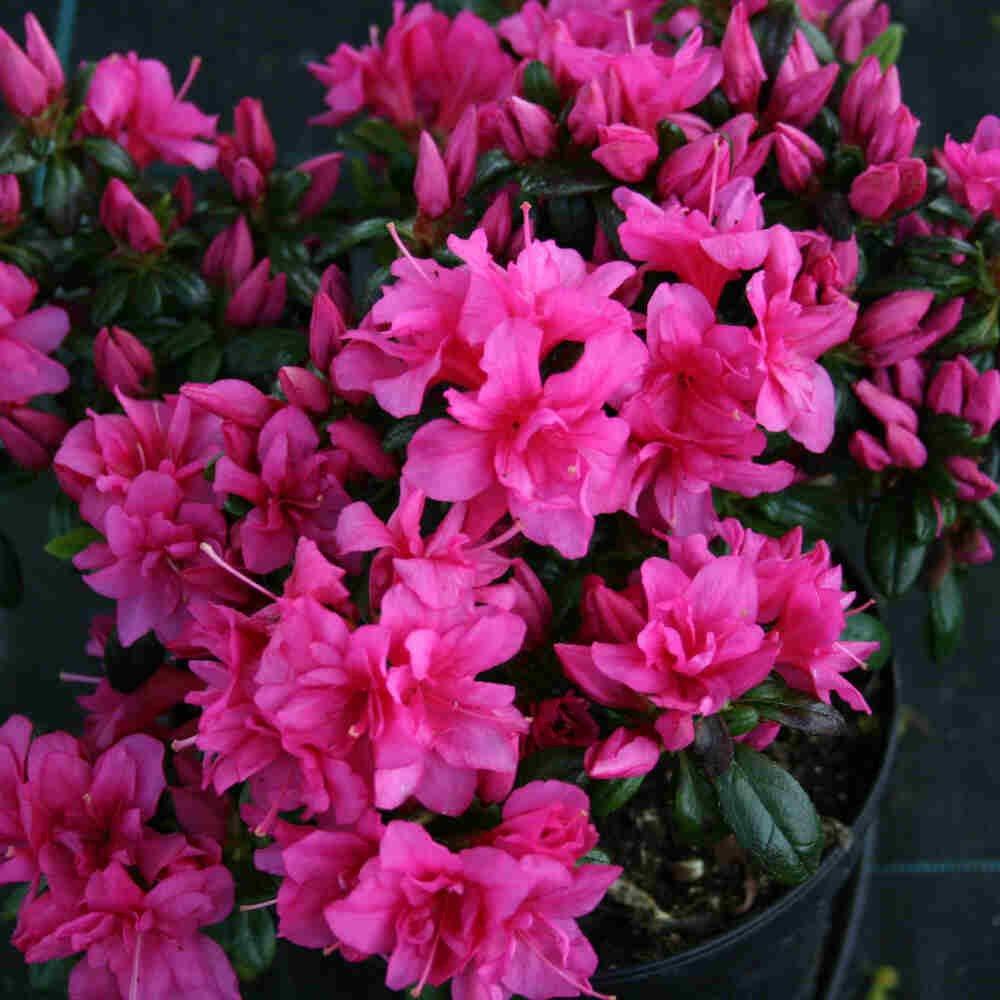 Japansk azalea - Rhododendron japonica 'Melina'
