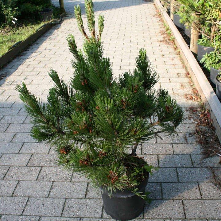 Slangehamsfyr - Pinus heldreichii 'Compact Gem'
