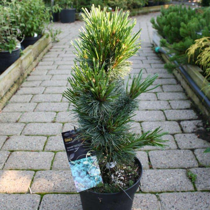 Cembrafyr - Pinus cembra 'Glauca'