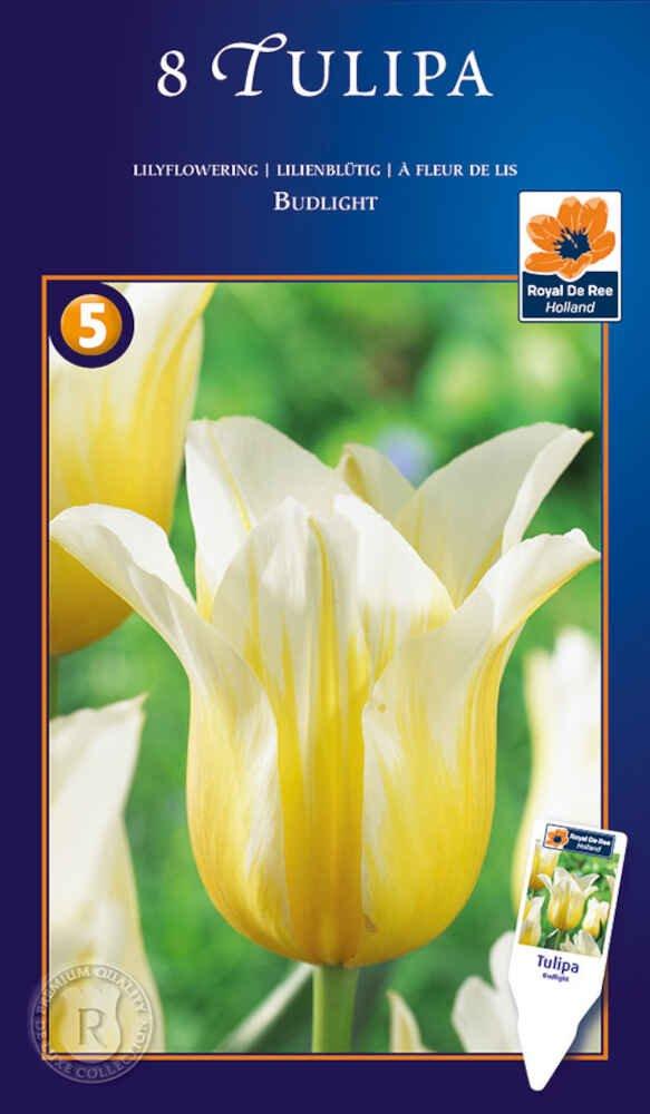Tulipanløg - Tulipa Budlight 12/+