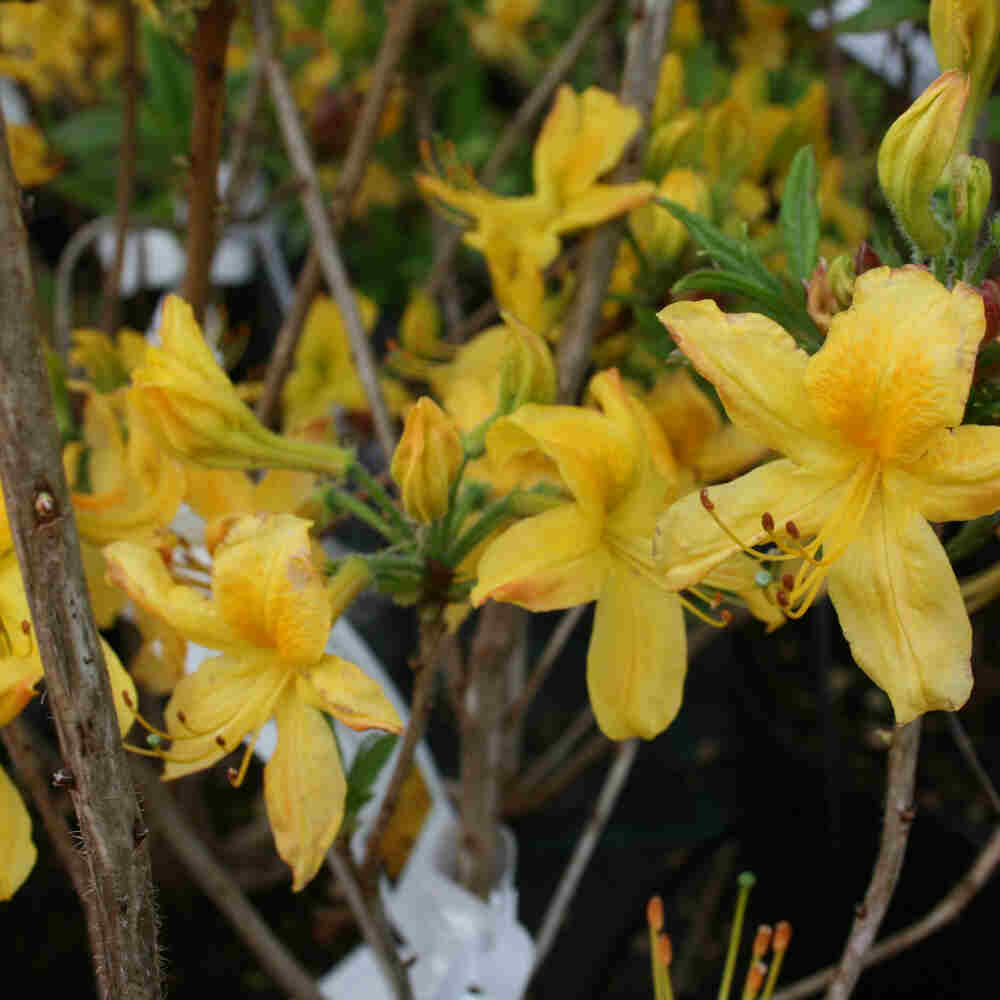 Rhododendron luteum 'Basta Select'