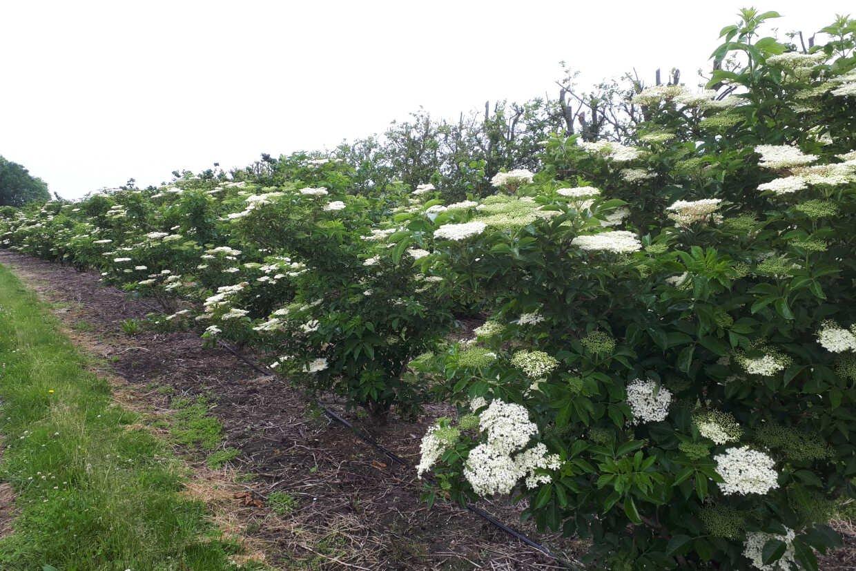 Hylde buske i blomst i frugtplantage