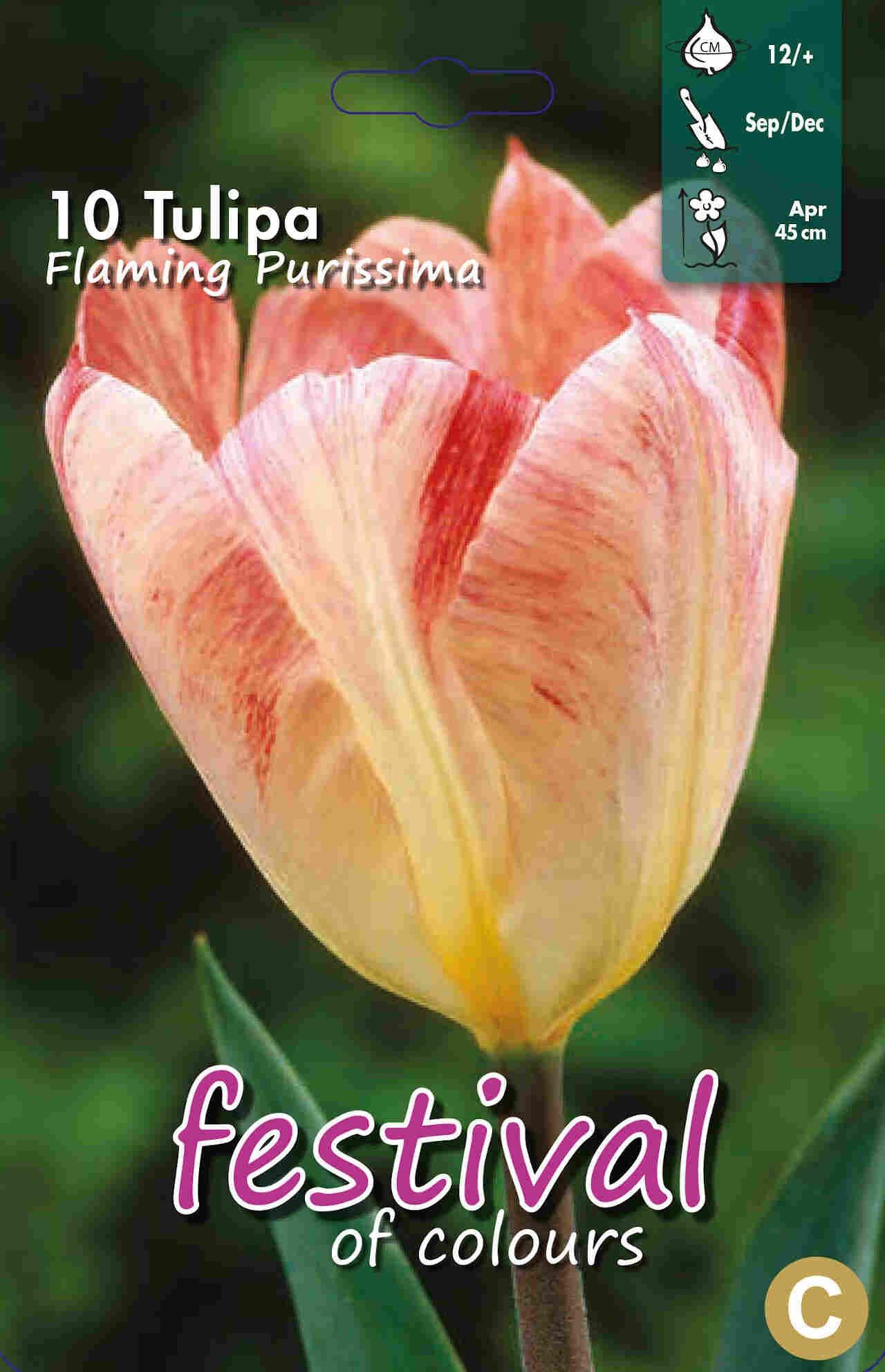 Tulipanløg - Tulipa Flaming Purissima 12/+