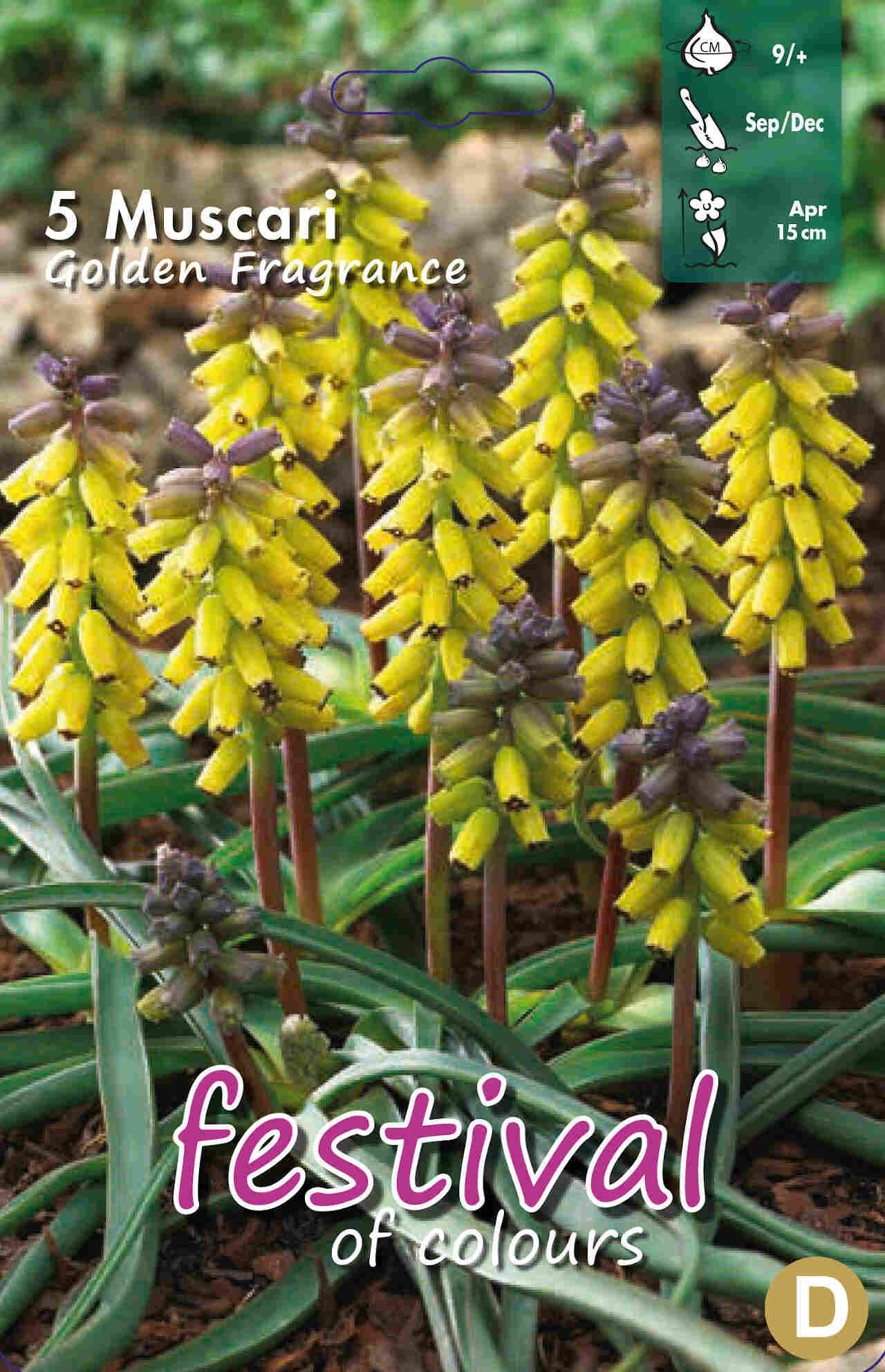 Perlehyacint - Muscari Golden Fragrance 9/+