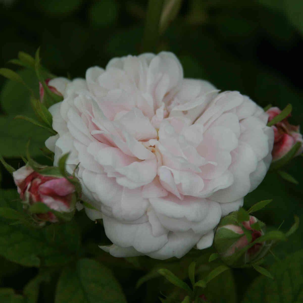 Rose alba 'Pompon Blanc Parfait'
