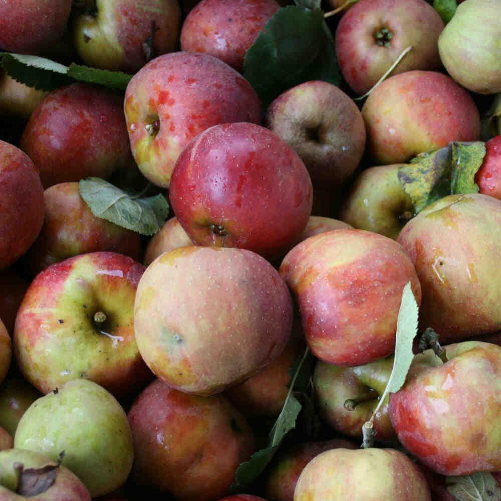 Æbletræ - Malus domestica 'Belle de Boskoop'