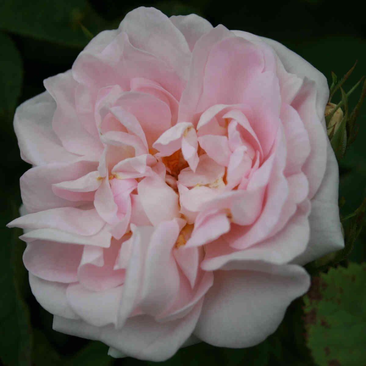Rose alba 'Maiden's Blush'