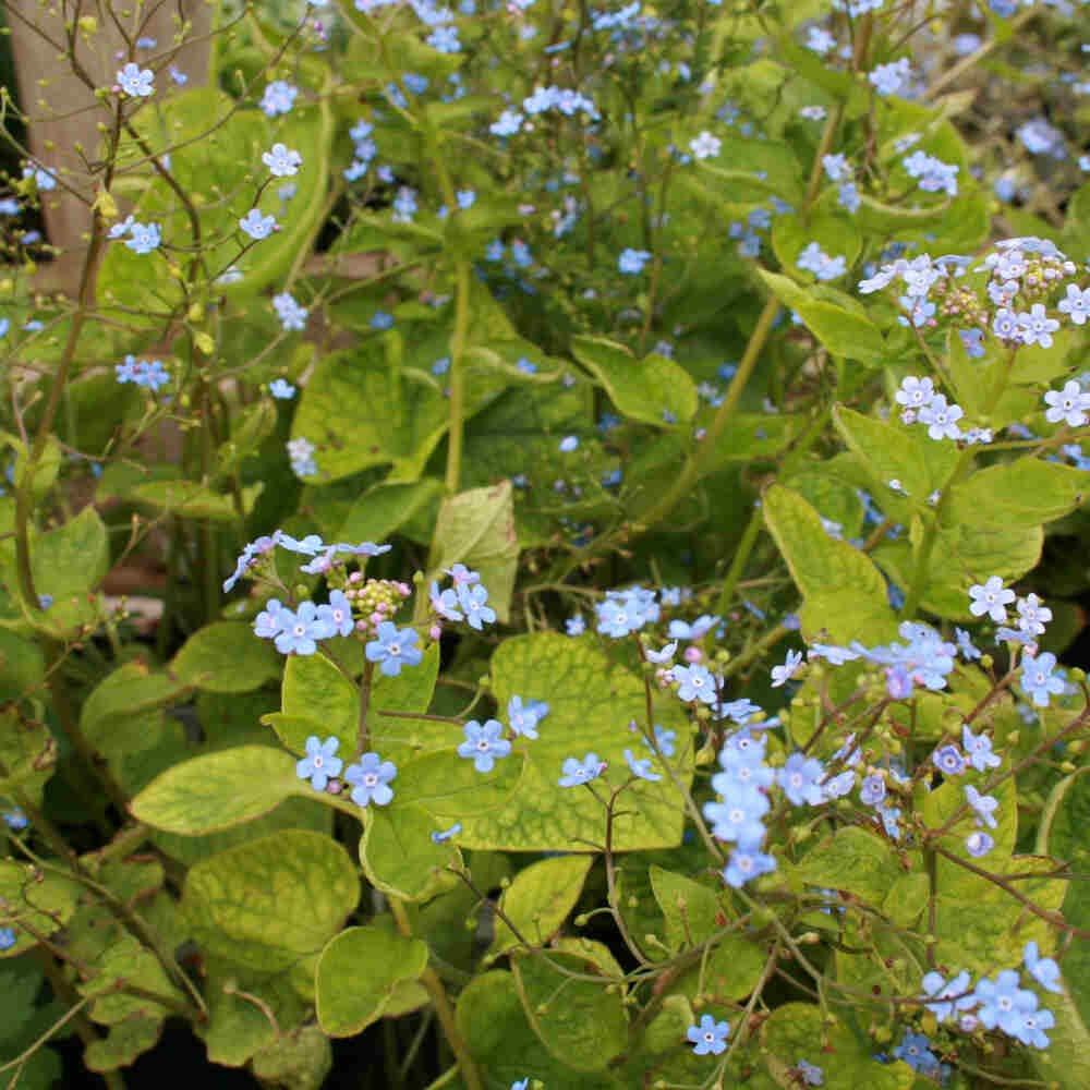 Kærmindesøster - Brunnera macrophylla