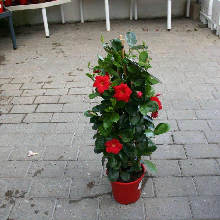 Bægerranke - Dipladenia Rød