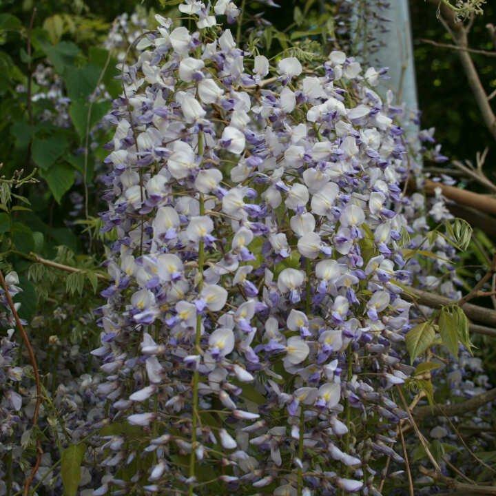 Blåregn - Wisteria floribunda Lawrence